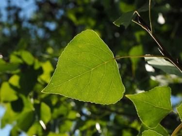 black poplar tree medicinal uses