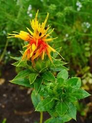 safflower leaves benefits