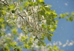 white poplar tree facts