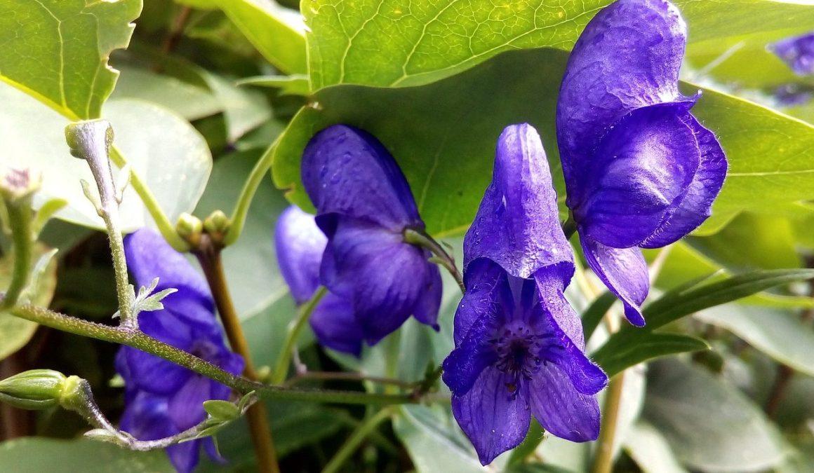 Natural Remedies For Insomnia - Skullcap Flower