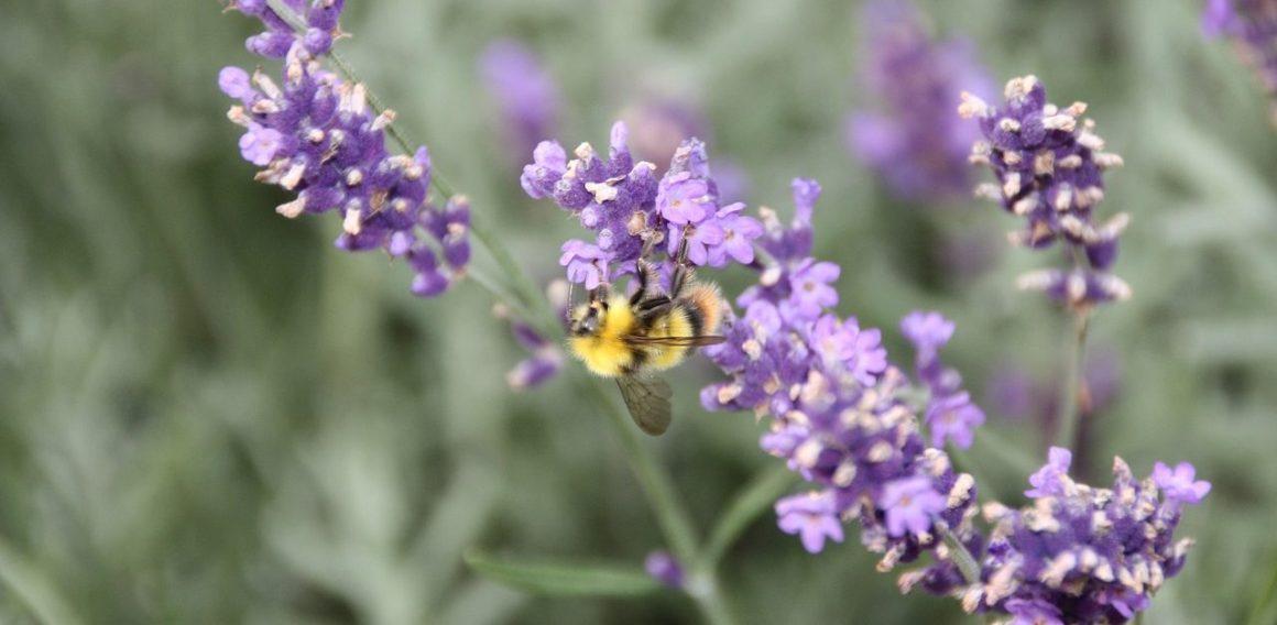 Natural Remedies For Insomnia - Lavender Flower