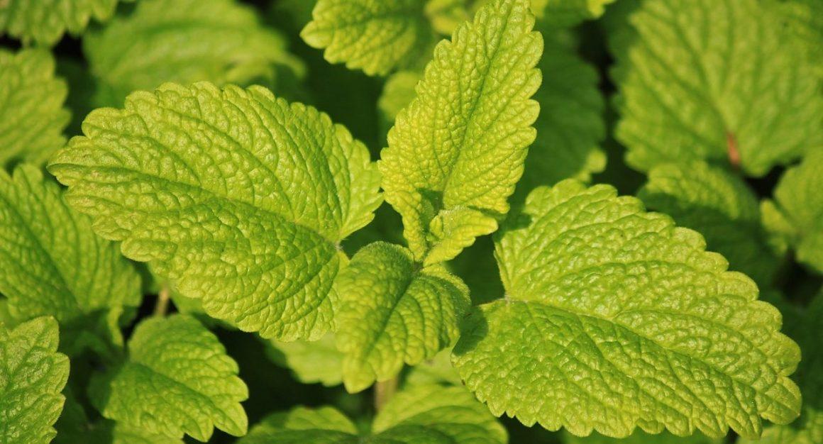 Natural Remedies For Insomnia - Lemon Balm Leaf