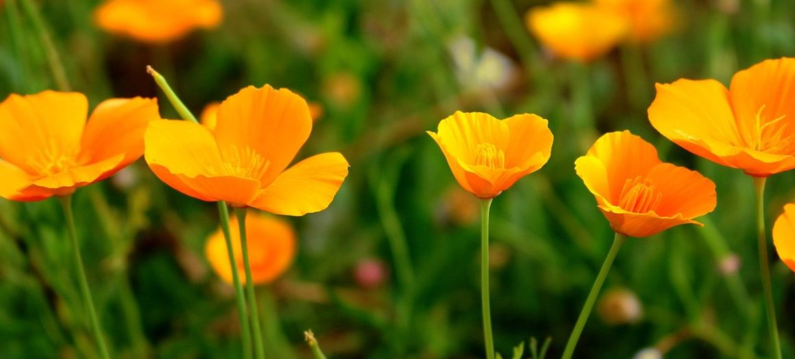 Natural Remedies For Insomnia - California Poppy