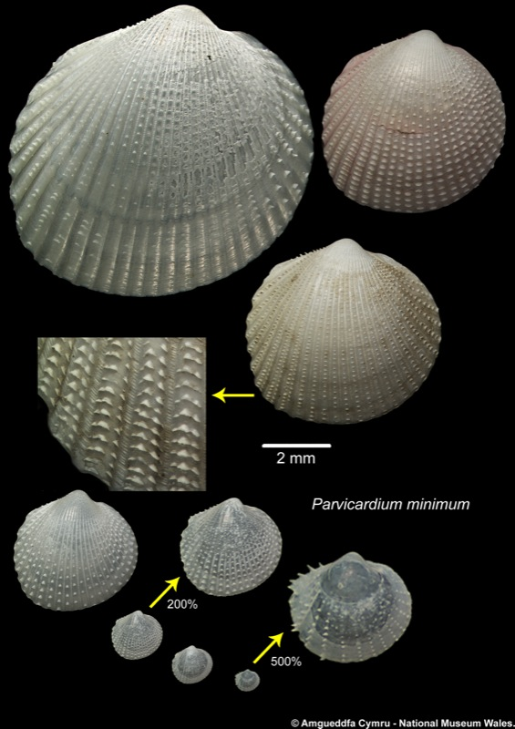 Parvicardium Minimum Philippi 1836 Marine Bivalve