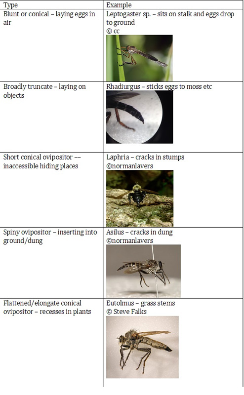 Ovipositors (adapted from Stubbs and Drake 2014)