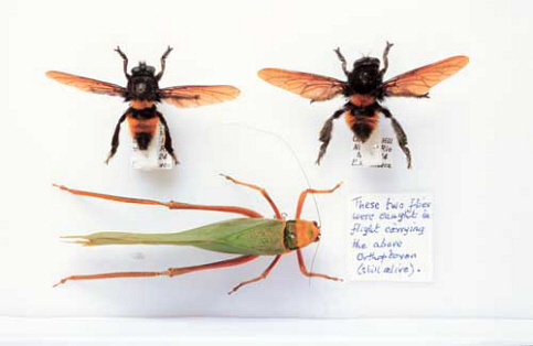 Male and Female of Mallophora infernalis who were caught mid air carrying this bush cricket