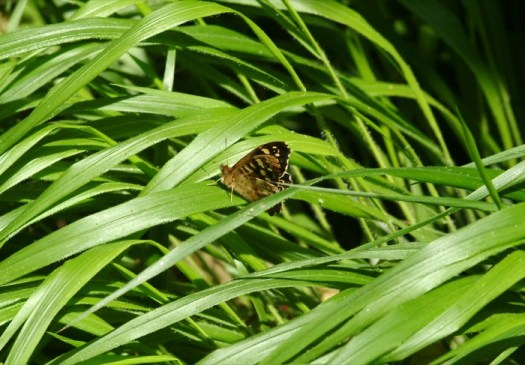 A speckled wood (Pararge aegeria) resting on false brome - one of its larval food plants
