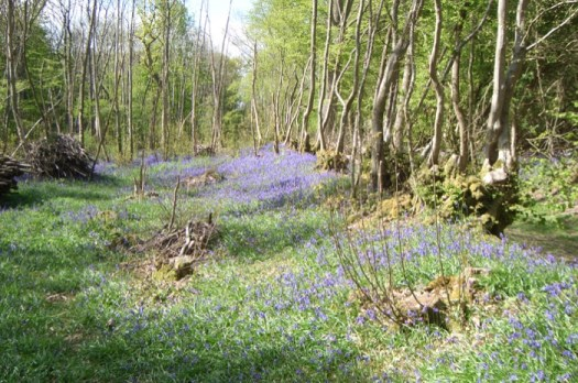 A magnificent display of bluebells in Hunt's Wood, near Woodchurch (Image © Peter Buckley)