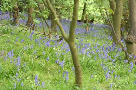Bluebells are iconic to our woodlands. © Mike Waller