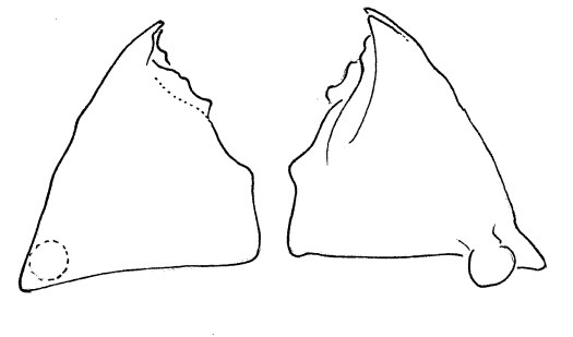 Anchylorhynchus eriospathae larval mandibles (redrawn from de Medeiros et al, 2014): 2nd instar, dorsal and ventral