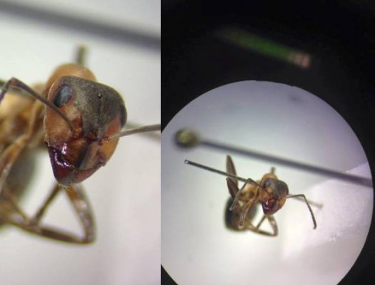 Formica sp. ant I have been identifying