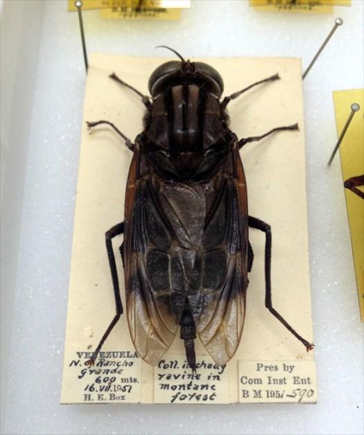Figure 3. One of the glorious specimens - Pantophthalmus bellardii (Bellardi 1862)
