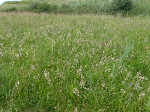 Marsh helleborine photographed flowering in large numbers last summer at Berrow Dunes, north Somerset. © Fred Rumsey