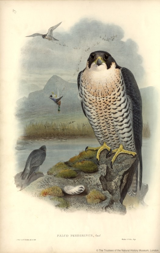 Anthony is an enthusiastic birdwatcher following voluntary work as Peregrine Warden with the National Trust in 2006. Image: Plate 17 from John Gould's The Birds of Great Britain, Vol. 1 (1873, hand coloured lithograph).