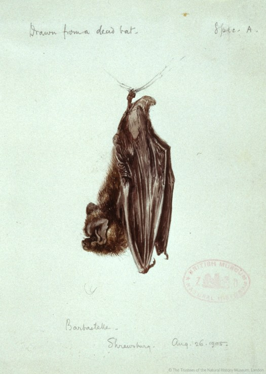 A 1905 drawing 'from a dead bat' of a barbastelle (Barbastella barbastellus) in the Museum's Picture Library
