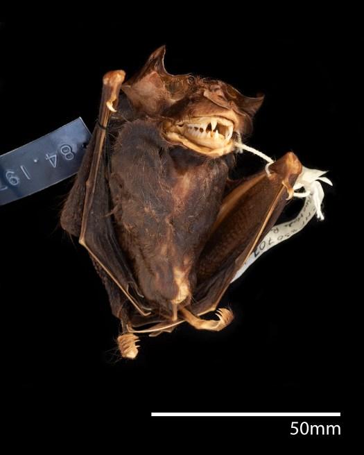 Photo of a bat specimen with label