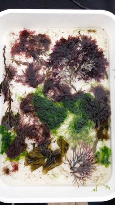 Photo of white tray of water containing red, green and brown seaweeds.