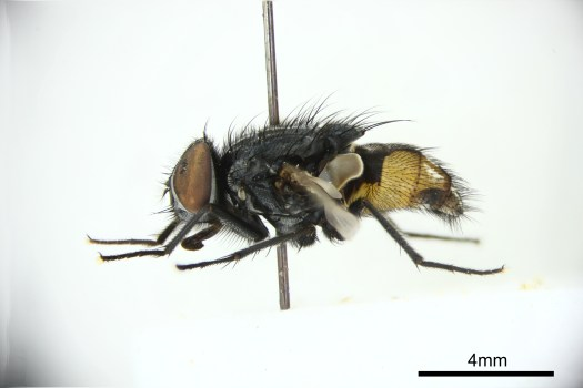 Photo of a specimen shown side on and pinned