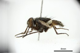 Photo of a pinned specimen from the side