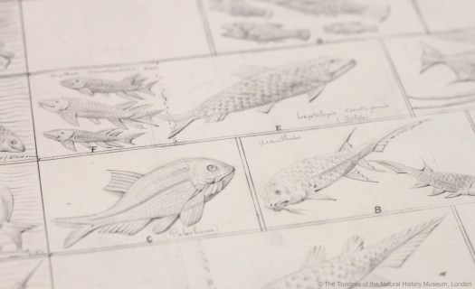 Photo of a page in the archives showing drawings of fish species that would later be recreated as terracotta tiles