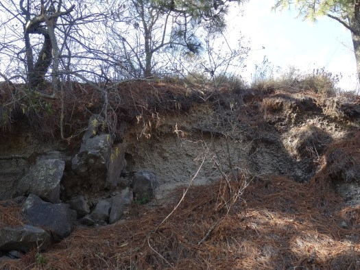 Photo showing a hillside with trees on top, with the stratified pumice exposed beneath.