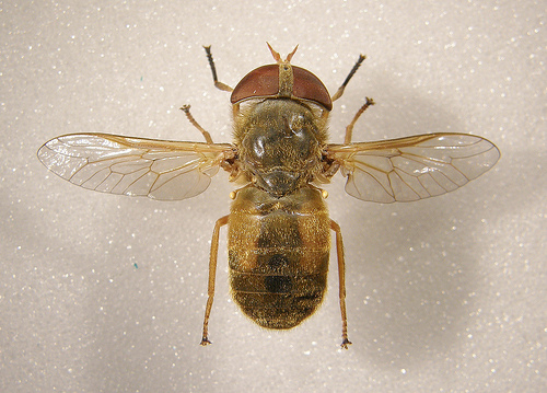 Photo of the specimen from above with wings splayed