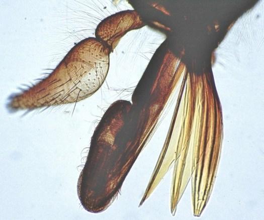 Photo of the horsefly mouthparts obtained via light microscope