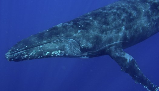 Humpback whale diving underwater