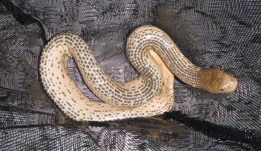 Photo of Aipysurus laevis in a net