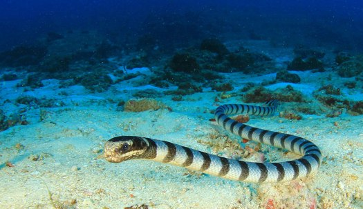 Photograph of a banded sea krait swimming along the ocean floor
