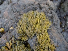 Photo showing the seaweed spreading from centre to bottom left and right in a pyramid like shape, growing on a rocky surface