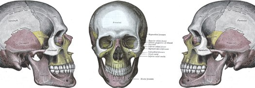 Drawings of the human skull from Gray's Anatomy (1858)