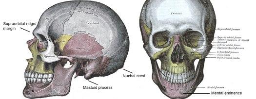 The human skull