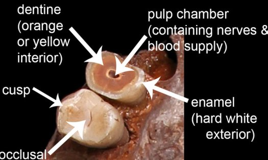 Basic anatomy of a human tooth