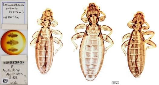 1) Eagle Lice