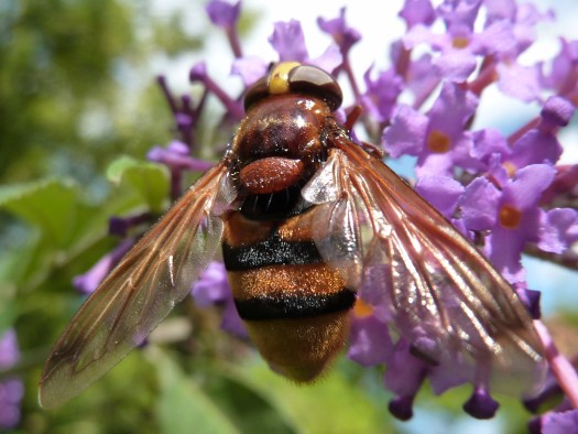 Close up photo of the hoverfly's back with head at the top and abdomen at the bottom of the image, resting on a purple flower.