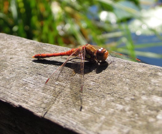 Photo of a red-coloured dragonfly at rest on a piece of wood, its wings splayed to the left and right and pointing downwards beside it. The background is out of focus but the green foliage beside a hint of blue water is visible.