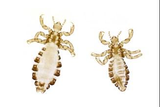 Human head louse (Pediculus humanus)