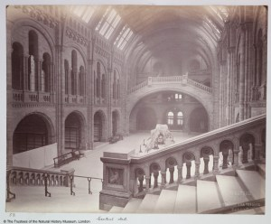 Black and white photograph taken of the Hintze Hall, there is a slightly misty atmosphere to the image. The photographer is standing on the upper level of the west side of the main staircase, looking towards the front entrance. The only visible specimen on display is the 15 metre skeleton of a sperm whale which can be seen low to the ground in the centre of the room, facing away from the photographer. Only the bays to the left of the photo can be seen and they look to have empty upright specimen cases in them. The bay nearest to the photographer has been partially obscured by white sheeting high enough from the ground to not allow people to look over.