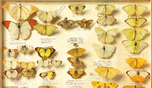2) Banks Lepidoptera