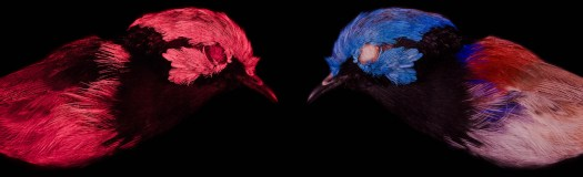 Fairywren UV vs human visible