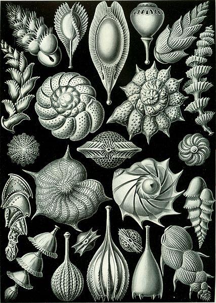 Ernst Haeckel via Wikimedia Commons https://commons.wikimedia.org/wiki/File:Haeckel_Thalamophora_81.jpg