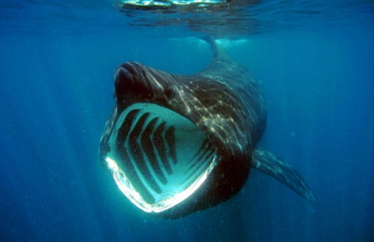 Basking shark feeding at the surface