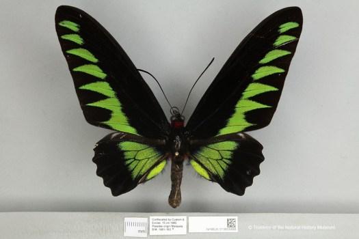 Rajah Brooke's Birdwing (Trogonoptera brookiana)