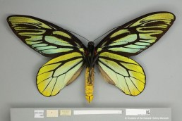 Male Ornithoptera alexandrae specimen also collected by A.S.Meek