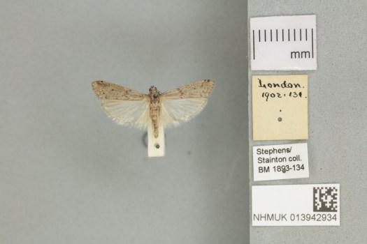 2 Meditteranean Flour Moth