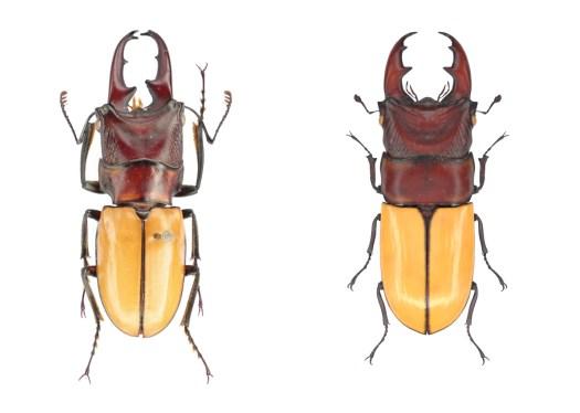 03_Natural History Museum_Cyclommantinus bicolor_20200128