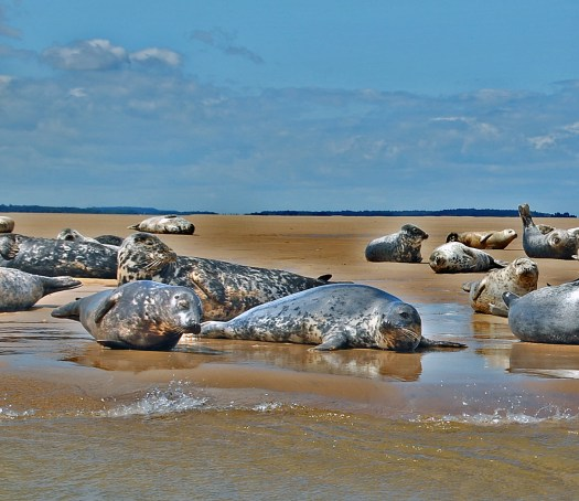 Grey seals on a beach in Norfolk