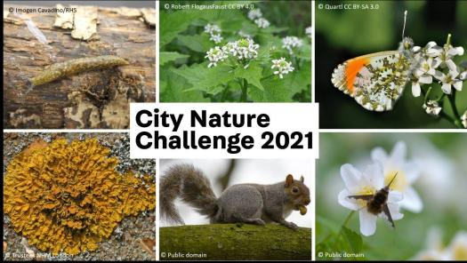 Montage of six photographs of the Species to Spot, with City Nature Challenge 2021 text overlaid.