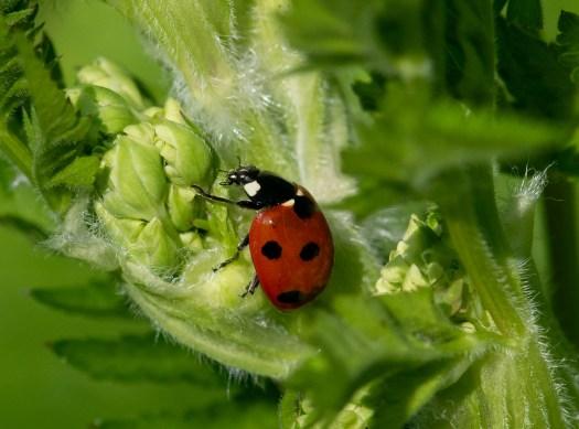 Photograph of a seven spot ladybird.
